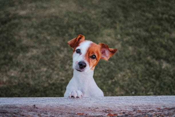 portrait of cute small jack russell terrier standing on two paws on the grass in a park looking at the camera. Fun outdoors. top view stock photo