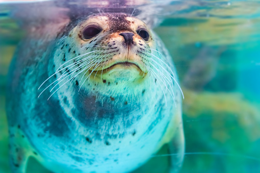 portrait of cute spotted seal