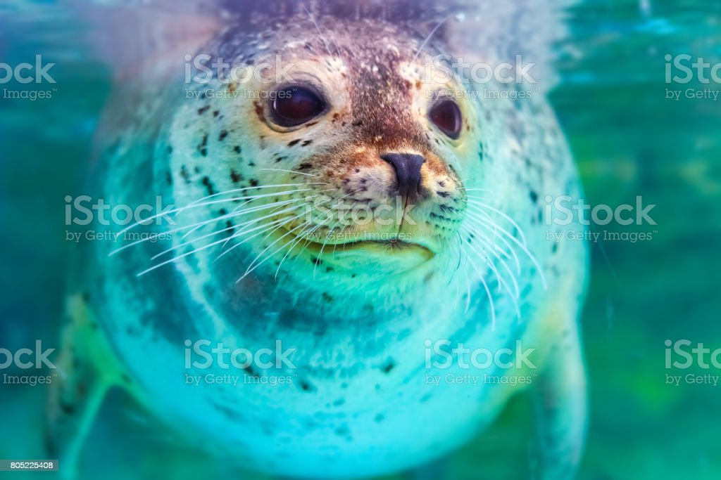 portrait of cute spotted seal stock photo