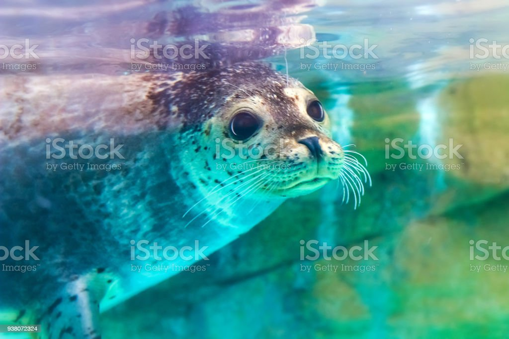 portrait of cute spotted seal foto stock royalty-free