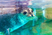 istock portrait of cute spotted seal 938072324