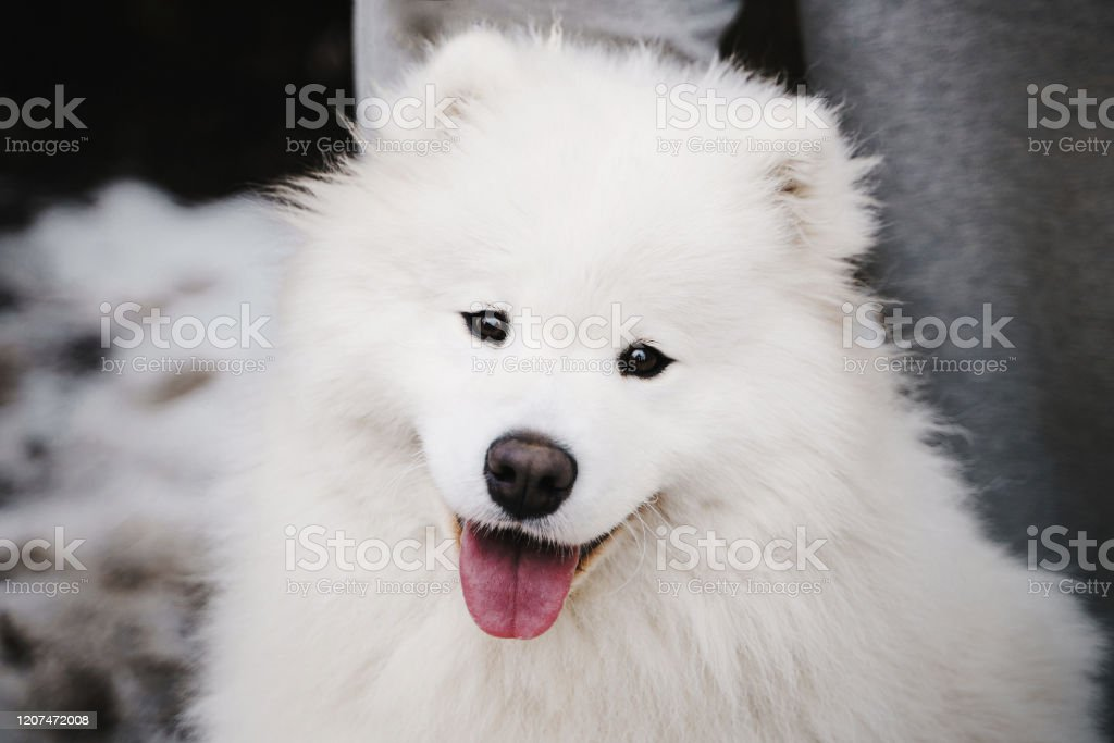 Portrait Of Cute White Fluffy Samoyed Puppy Outdoors Looking Into The Camera With A Happy Expression And A Smile Stock Photo Download Image Now Istock
