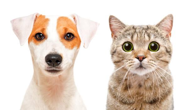 Portrait of cute young dog jack russell terrier and cat scottish picture id1097010544?b=1&k=6&m=1097010544&s=612x612&w=0&h=qzwqp clpy1zidgdva35afs01nswpbbequwliq94xaa=