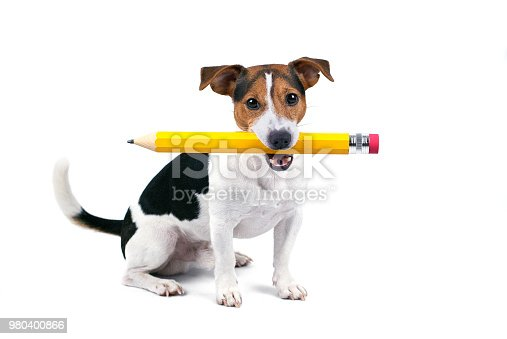 Portrait of cute young jack russell terrier dog sitting and hold large yellow pencil, isolated on white background, looking at camera. Back to school concept.
