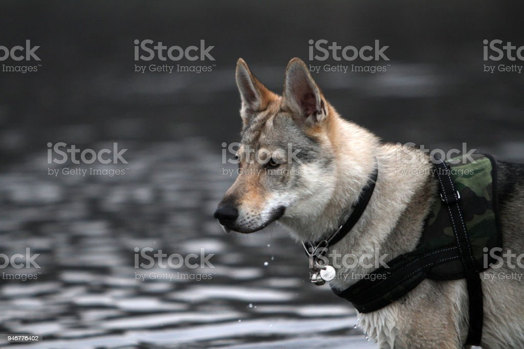 portrait of Czechoslovakian Wolf stock photo