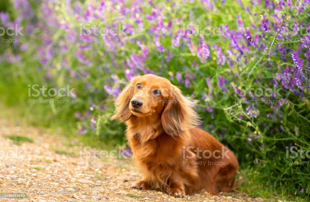 Portrait Of Dachshund Miniature Long Haired In The Park Stock Photo Download Image Now Istock