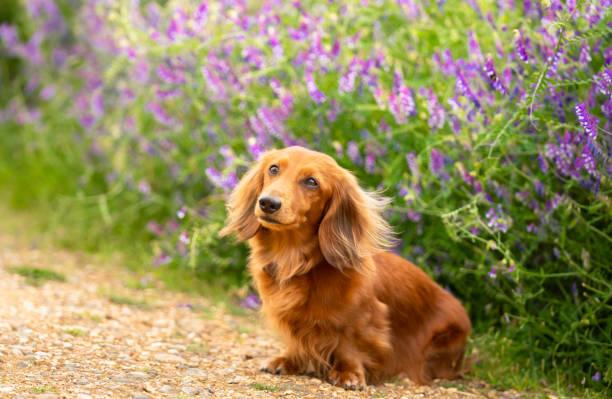 porträtt av dachshund, miniatyr långhårig i parken - tax bildbanksfoton och bilder