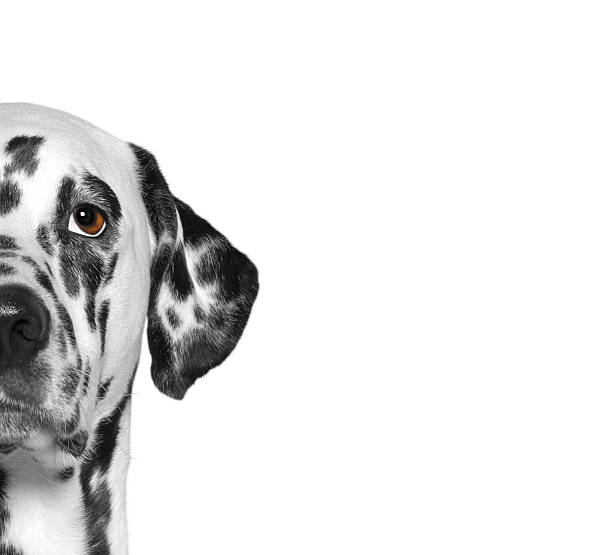 portrait of dalmatian dog breed. isolate. white background - animal eye stock pictures, royalty-free photos & images