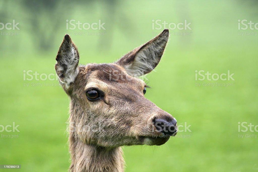 Portrait of deer stock photo