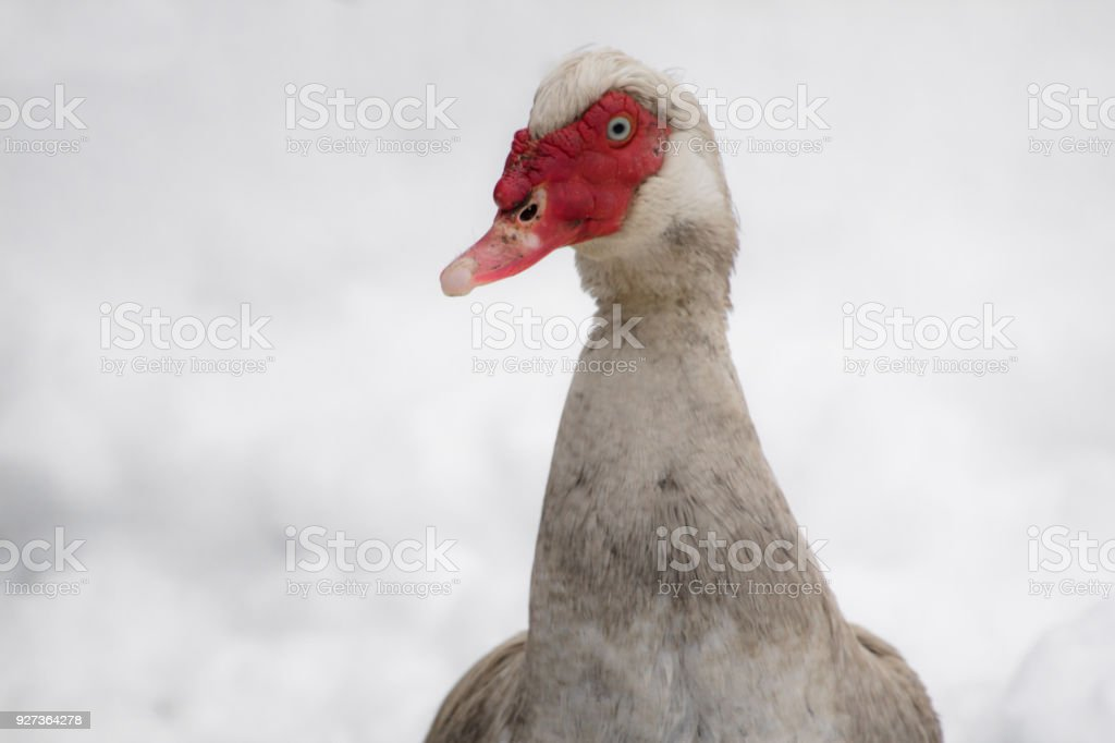 portrait of dirty muscovy duck not used to cold temperatures and snowy winter, southern france, february 2018 - Royalty-free Agriculture Stock Photo
