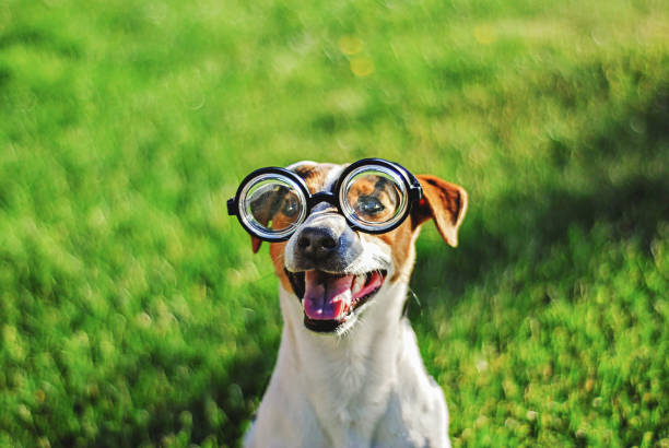Portrait of dog in round reading glasses. Funny dog face on green grass background Portrait of dog in round reading glasses. Funny dog face on green grass background april fools day stock pictures, royalty-free photos & images