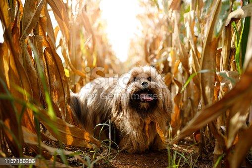 Portrait of dog in the cornfield..