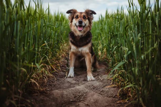 Porträt des Hundes im Kornfeld – Foto