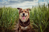 Portrait of dog in the cornfield