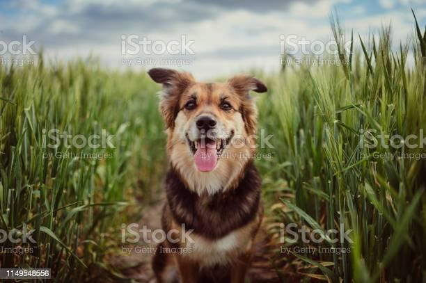 Portrait of dog in the cornfield picture id1149548556?b=1&k=6&m=1149548556&s=612x612&h=4pokrbbdgghlp9tj6m9t8paxwbwxc8gmoezmlsbsq38=