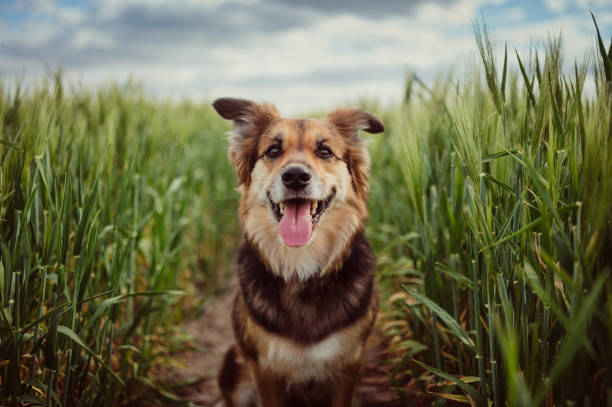 portrait of dog in the cornfield - happy dog imagens e fotografias de stock
