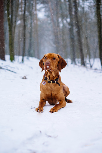 Vizsla dog in the snowy forest