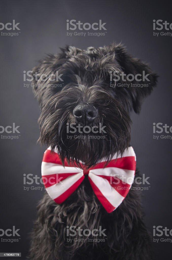 Portrait of Dog Schnauzer royalty-free stock photo