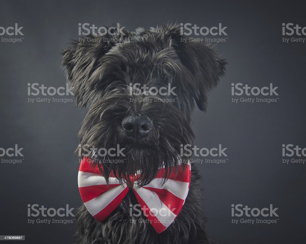 Portrait of Dog Schnauzer royalty-free stock photo