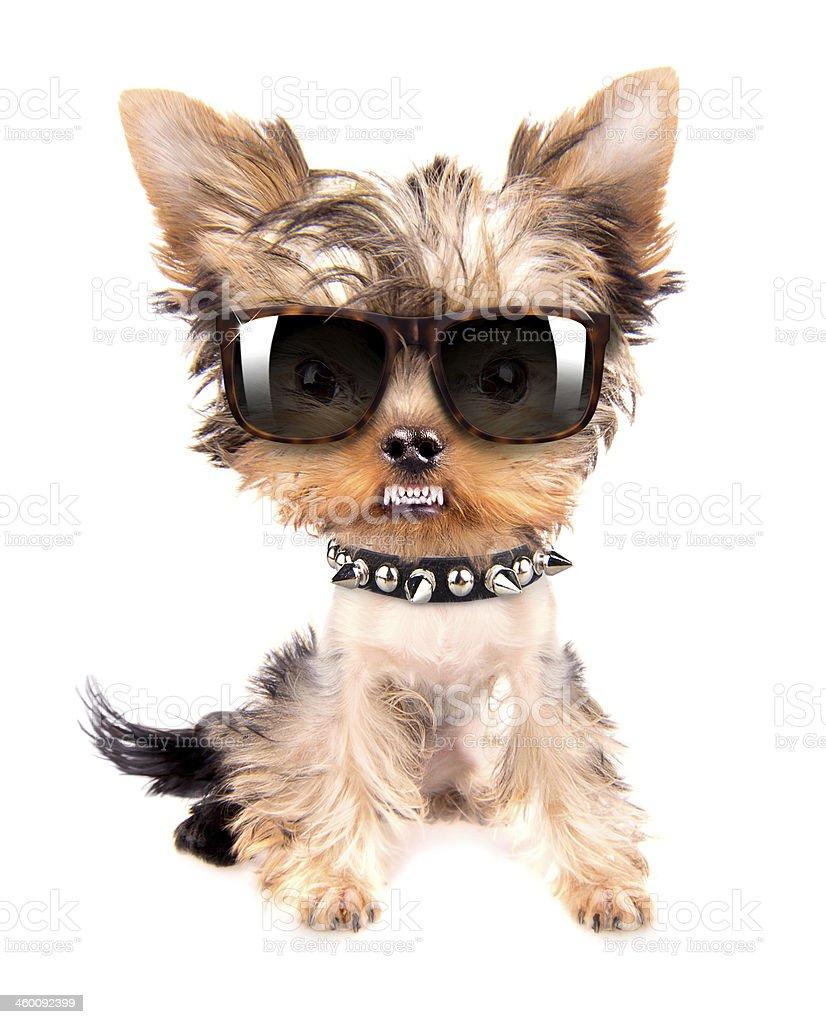 Ritratto di cane con puntale collo e occhiali - Foto stock royalty-free di Alla moda