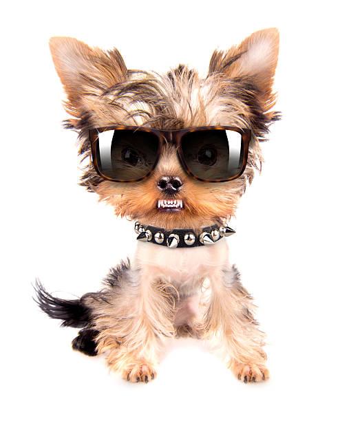 ritratto di cane con puntale collo e occhiali - earring ring foto e immagini stock