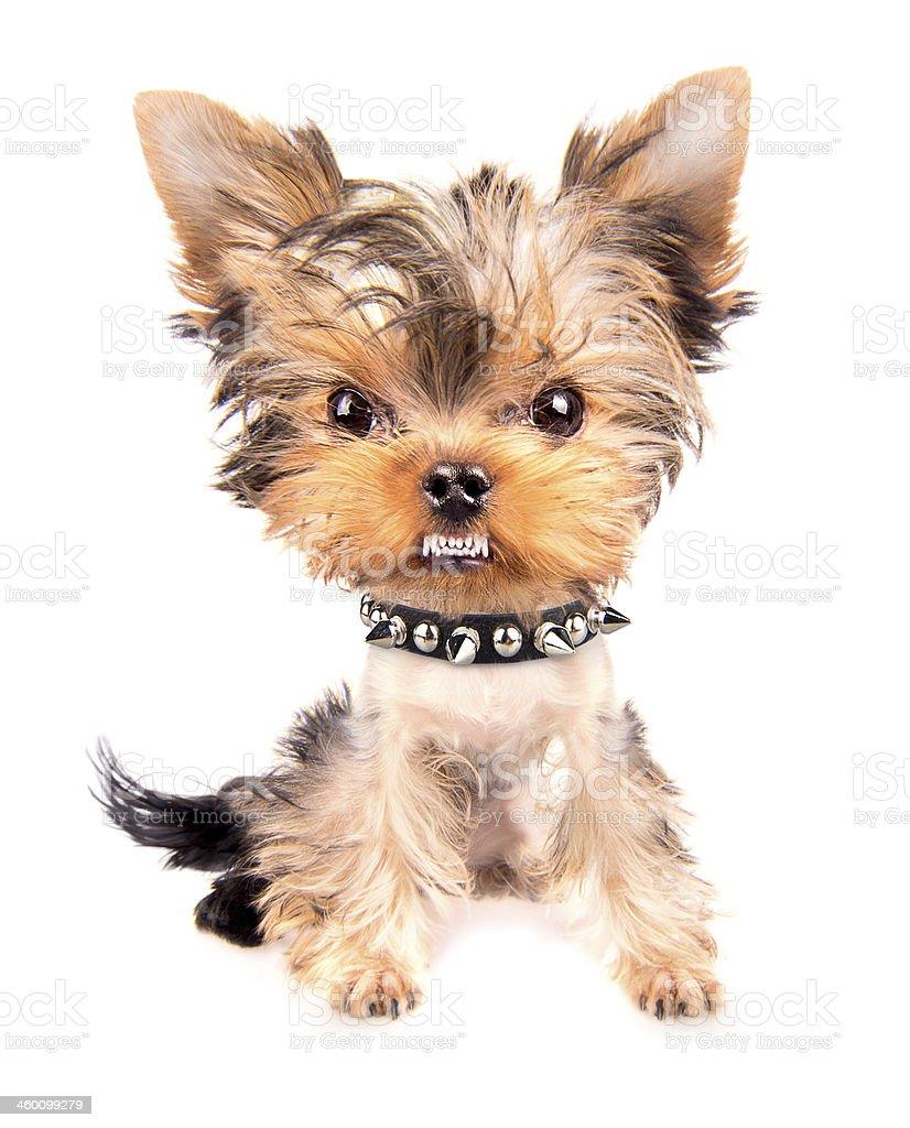 Ritratto di cane con collare con puntale - Foto stock royalty-free di Ambientazione interna