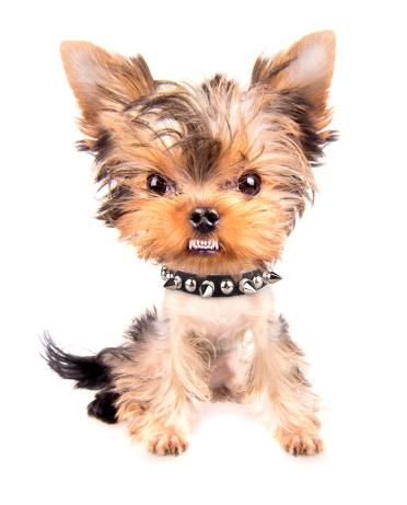 Ritratto Di Cane Con Collare Con Puntale - Fotografie stock e altre immagini di Ambientazione interna
