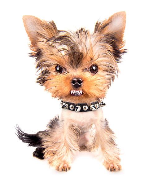 ritratto di cane con collare con puntale - earring ring foto e immagini stock