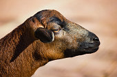 Portrait of domestic cameroon sheep on the farmfield