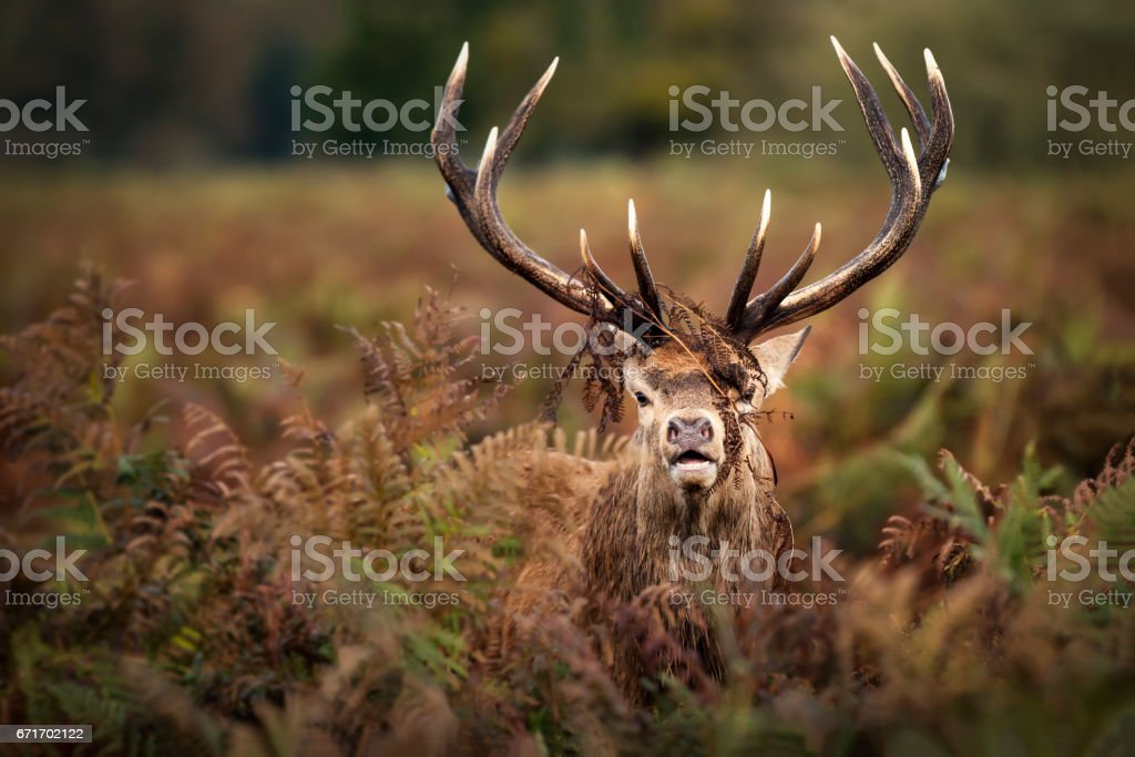 Portrait of dominant red deer stag stock photo