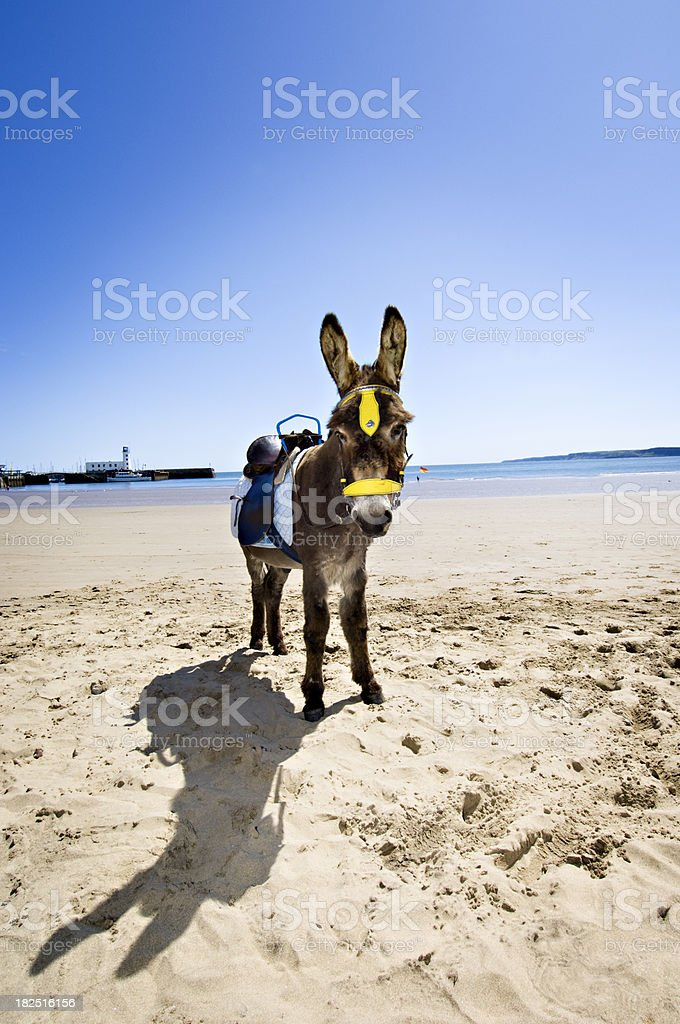Portrait Of Donkey At The Seaside in Scarbrough England stock photo