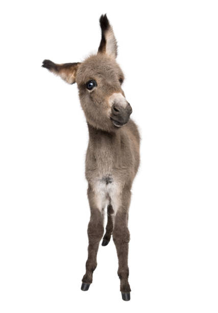 Portrait of donkey foal, 2 months old, standing against white background, studio shot Portrait of donkey foal, 2 months old, standing against white background, studio shot foal young animal stock pictures, royalty-free photos & images