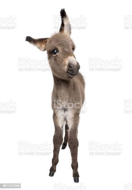 Photo of Portrait of donkey foal, 2 months old, standing against white background, studio shot