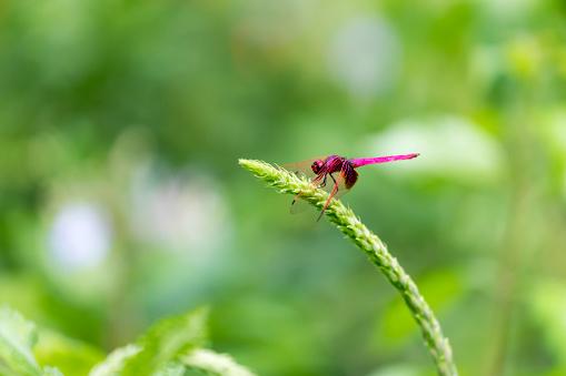 Portrait of dragonfly - Crimson Dropwing (male) (Trithemis aurora)