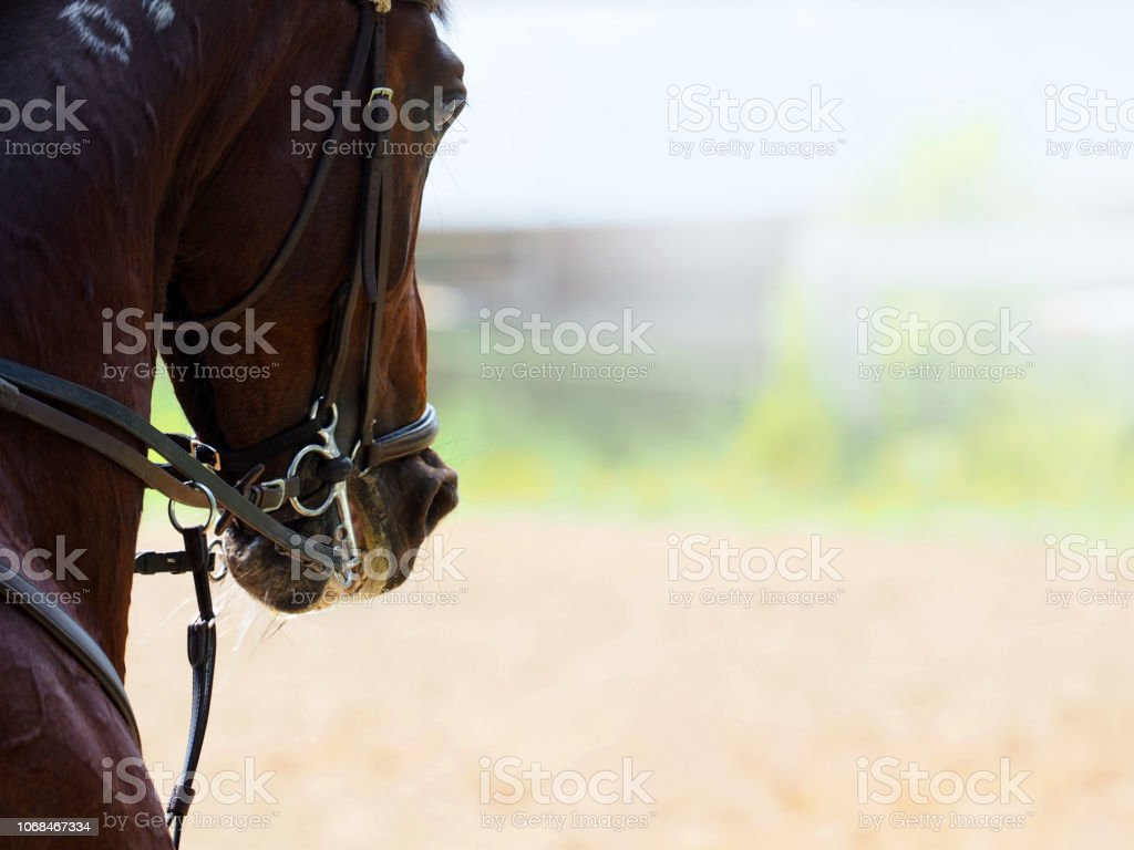 Portrait Of Dressage Horse With The Bridle Detail Closeup Bridled Beautiful Dark Bay Horse At Work Equestrian Sport Background Stock Photo Download Image Now Istock