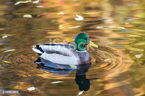 istock portrait of duck closeup 519362654
