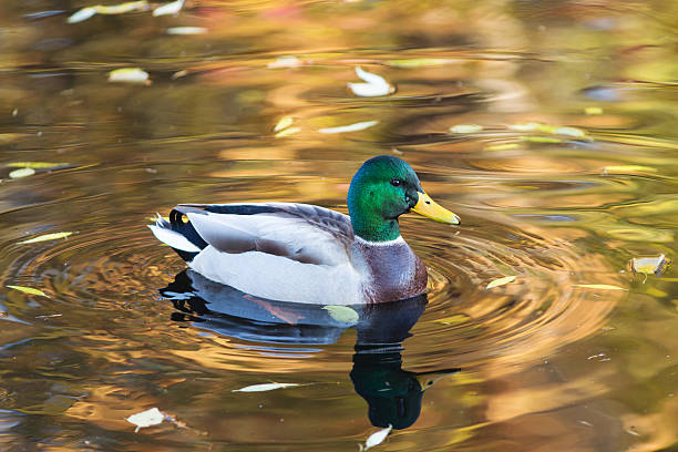 portrait of duck closeup duck swimming in water with autumn leaves duck bird stock pictures, royalty-free photos & images