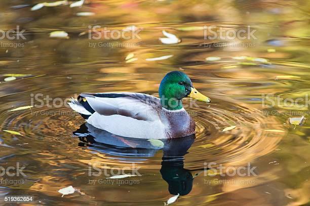 Photo of portrait of duck closeup