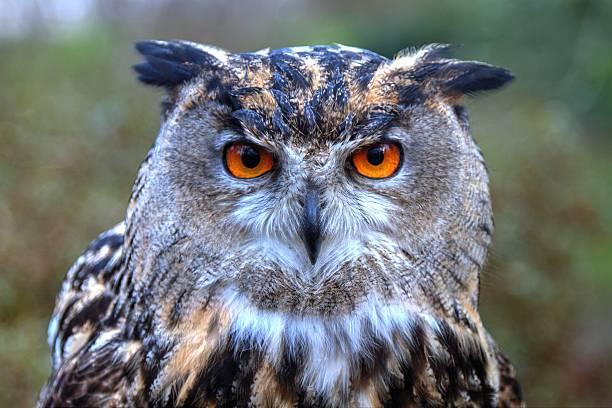 Portrait of eagle owl picture id533029857?b=1&k=6&m=533029857&s=612x612&w=0&h=fn9rnxerd0pt8z2sgm9opsdbbazwg6  dhm0lnibxz0=