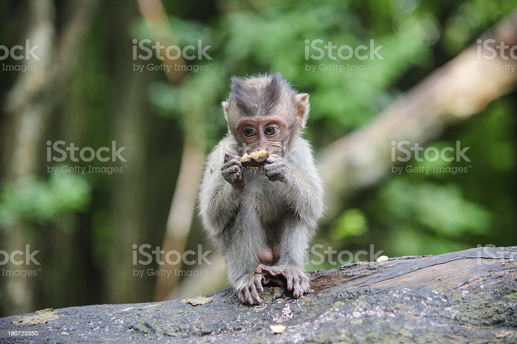 Portrait of eating monkey in balinese temple royalty-free stock photo