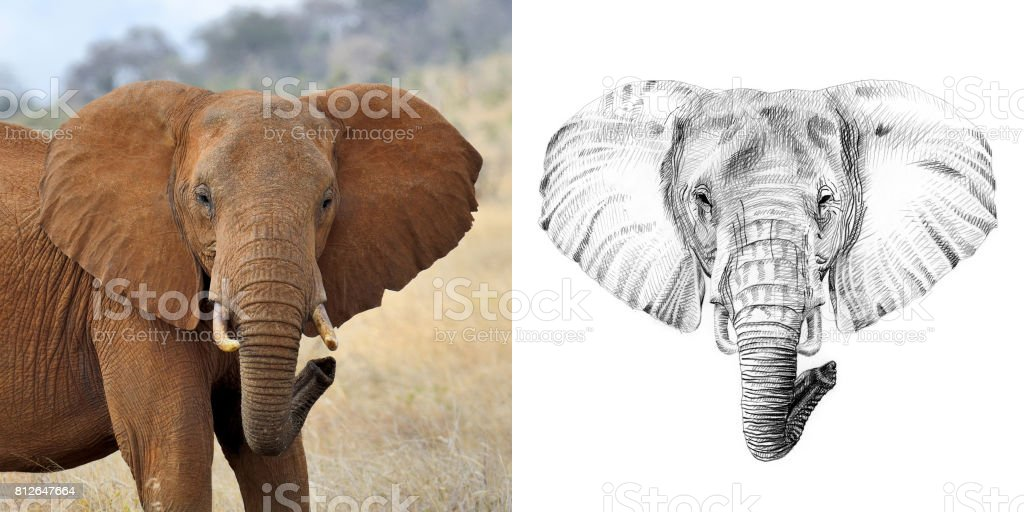 Portrait of elephant before and after drawn by hand in pencil stock photo