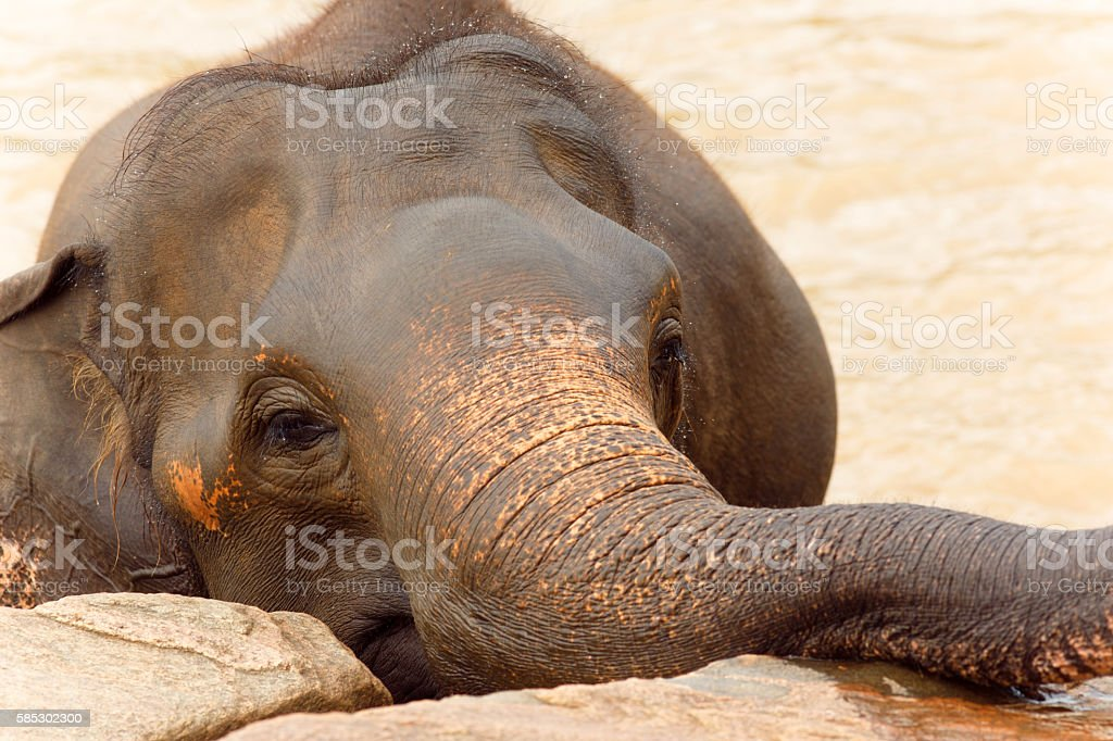 Portrait of elephant in Sri Lanka stock photo
