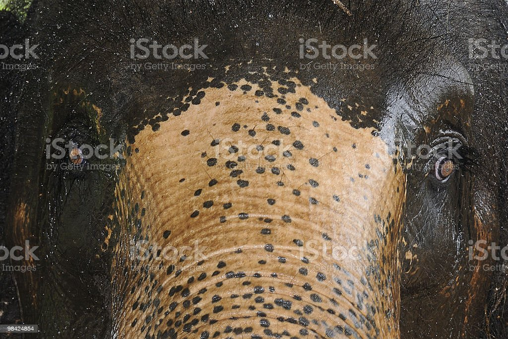 Portrait of elephant. royalty-free stock photo