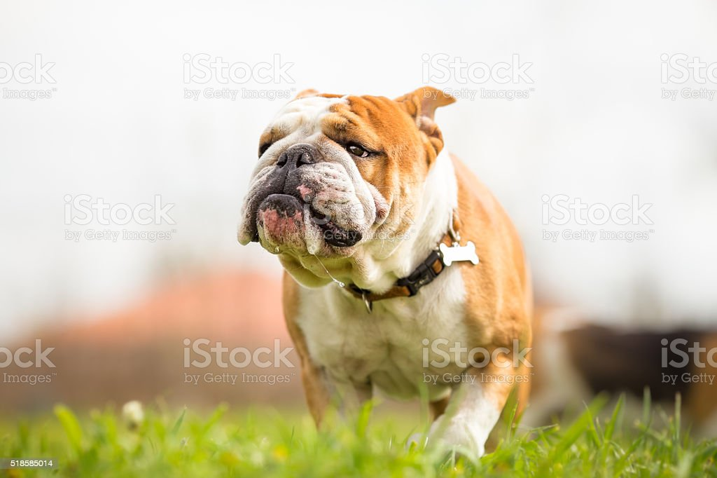 Portrait of English Bulldog in the garden stock photo