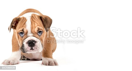Portrait of English Bulldog puppy isolated on white background with empty space