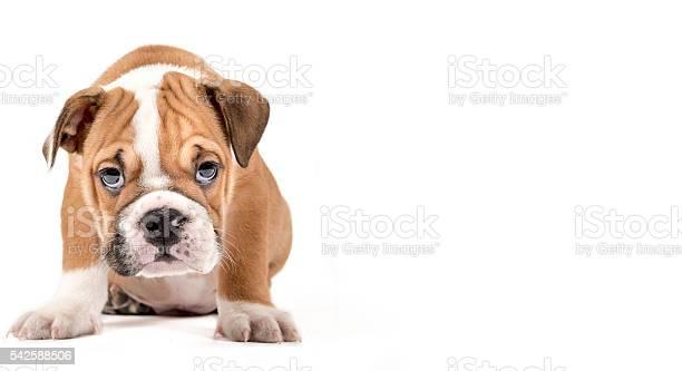 Portrait of english bulldog puppy picture id542588506?b=1&k=6&m=542588506&s=612x612&h=2szbf8hcmeyqxpha1ukn90okwtodr11qwstkkp5jtgw=