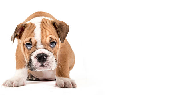 Portrait of english bulldog puppy stock photo