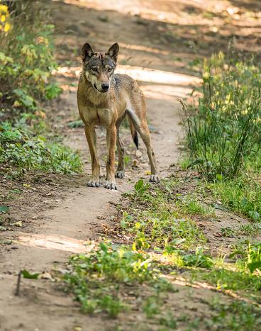 istock Portrait of Eurasian wolf 487274030