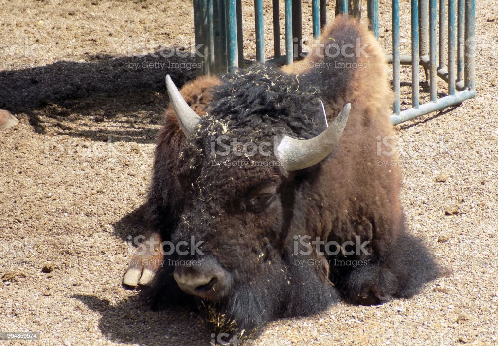 Portrait of European bison royalty-free stock photo
