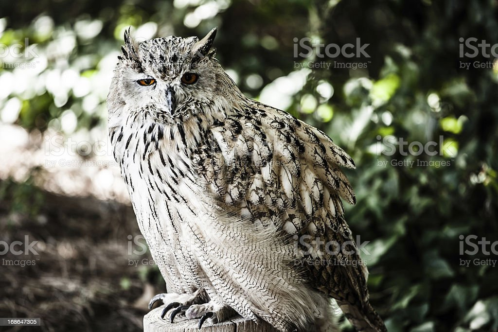 Portrait of European eagle owl royalty-free stock photo